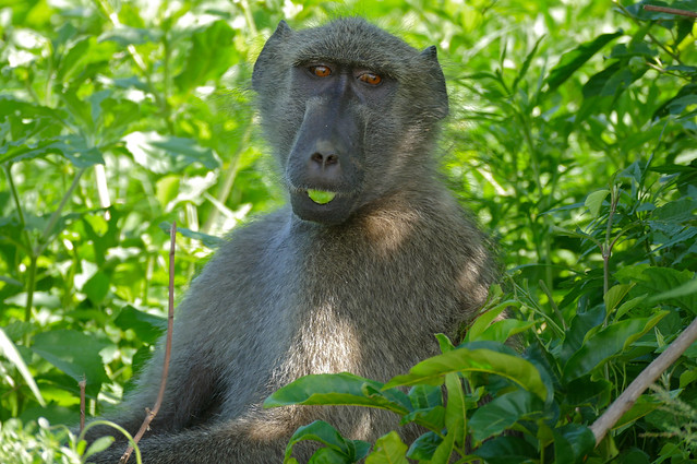 a description of the chacma baboon Southern chacma baboon eating grass seed, troop interacting with each other, grooming and playing - view incredible chacma baboon videos - papio ursinus - on arkive.