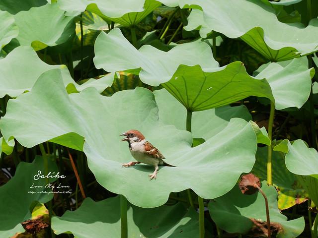 台北一日遊景點推薦植物園荷花蓮花池 (28)