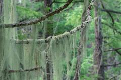 カラマツの枝に絡みつくサルオガセ