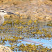whimbrel IMG_1938 by Silverleapers