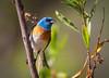 Lazuli Bunting Malibu Creek State Park 254-2