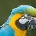 Yellow and Gold Macaw (ara araruna) by Robertoboy - Creative Nature & Wildlife