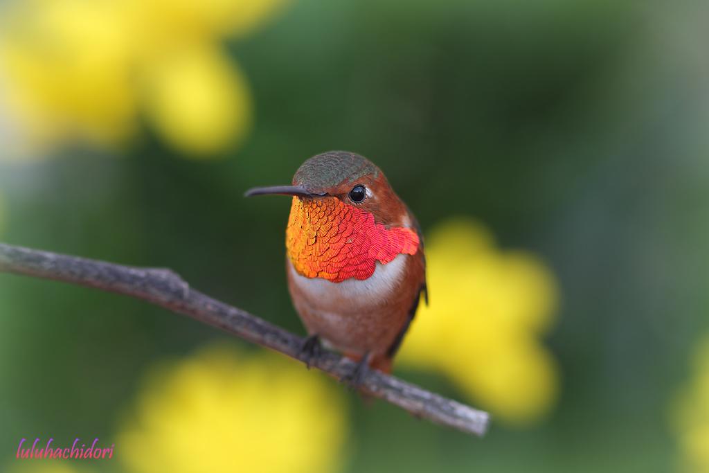 Allen's Hummingbird-111514-2