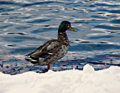 DUCK WATER SNOW