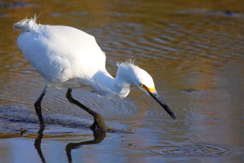 IMG_7077 Snowy Egret
