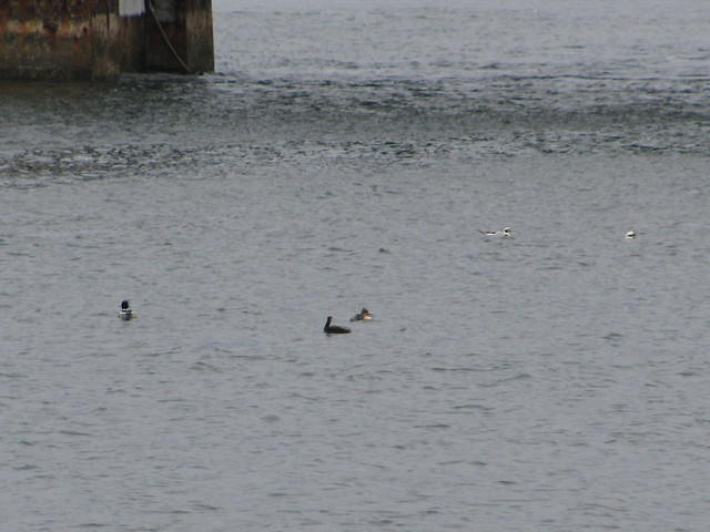Blurry Red-necked Grebe
