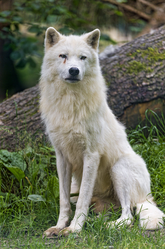 Sitting and posing arctic wolf