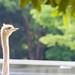 遠き父祖の地を夢見て - Sunlight lit up the ostrich -