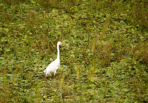 Great Egret, USC Sippy Downs