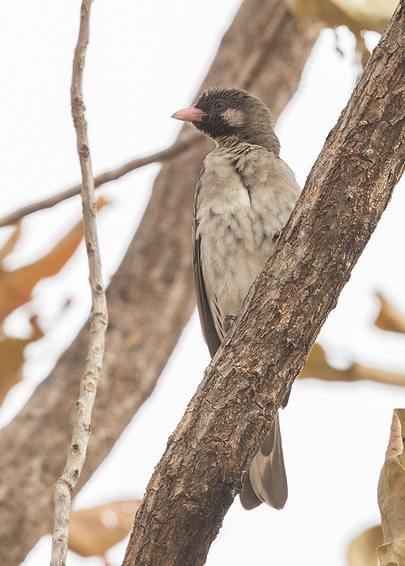 Greater Honeyguide   Gambia