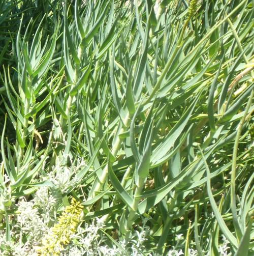 Aloe tenuior 16401679069_fe2efdcaa3_o
