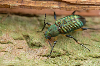 Darkling beetle (Strongylium sp.) - DSC_1322