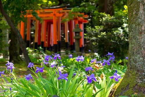 カキツバタ - 上御霊神社 / Kamigoryou-jinjya Shrine