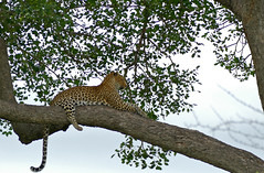 Leopard (Panthera pardus) female in a tree