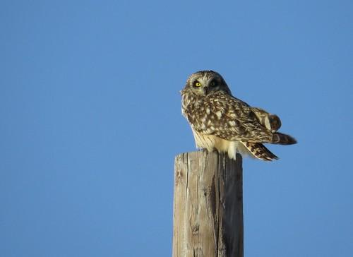 Short-eared Owl 1