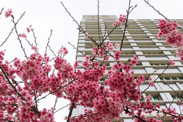 2015 01 31 桃園.龜山.華亞科技園區.禾聯碩科技.寒櫻(100%-二)