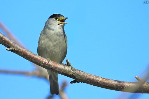 Toutinegra-de-barrete-preto (Sylvia atricapilla)