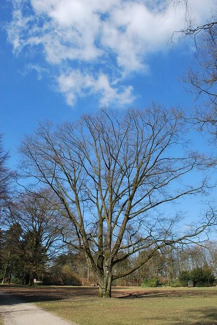 Nr. 2 Amerikanische Rot-Eiche (Quercus rubra)