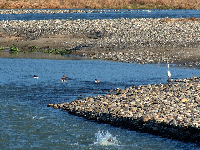 Common Merganser, or gosandar (Mergus merganser, カワアイサ) with a great egret