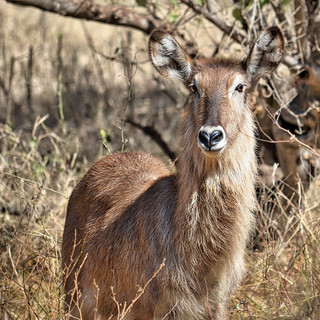 Watching - Female Waterbuck Antelope