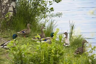 The ducks on the shore of lake Jyväsjärvi, Jyväskylä