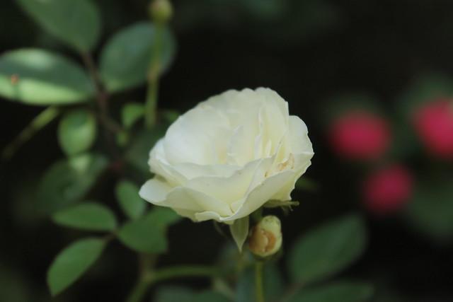 Mawar Putih Lambang Cinta Sejati