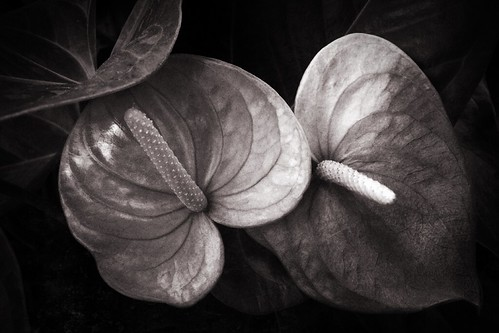 cameraphone blackandwhite usa plant flower nature garden blackwhite pennsylvania pa 365 toned retouch longwoodgardens longwood textured phonephoto apps iphone naturelovers ipad earthnature alienskin altphoto artofnature anthurim phoneography iphoneography ipaddarkroom snapseed iphone5s