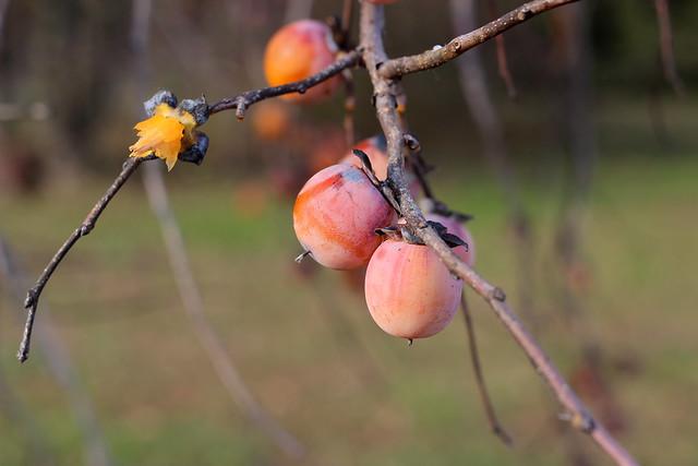 Persimmon Harvest 7