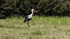 animal, prairie, fauna, ciconiiformes, white stork, crane-like bird, crane, bird, wildlife,