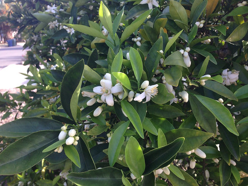 Orange blossoms in full bloom right now