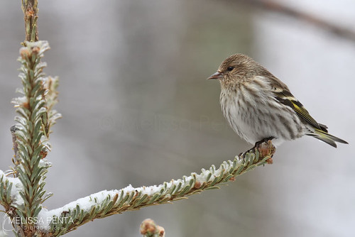 birds yard pa finch siskin stroudsburg