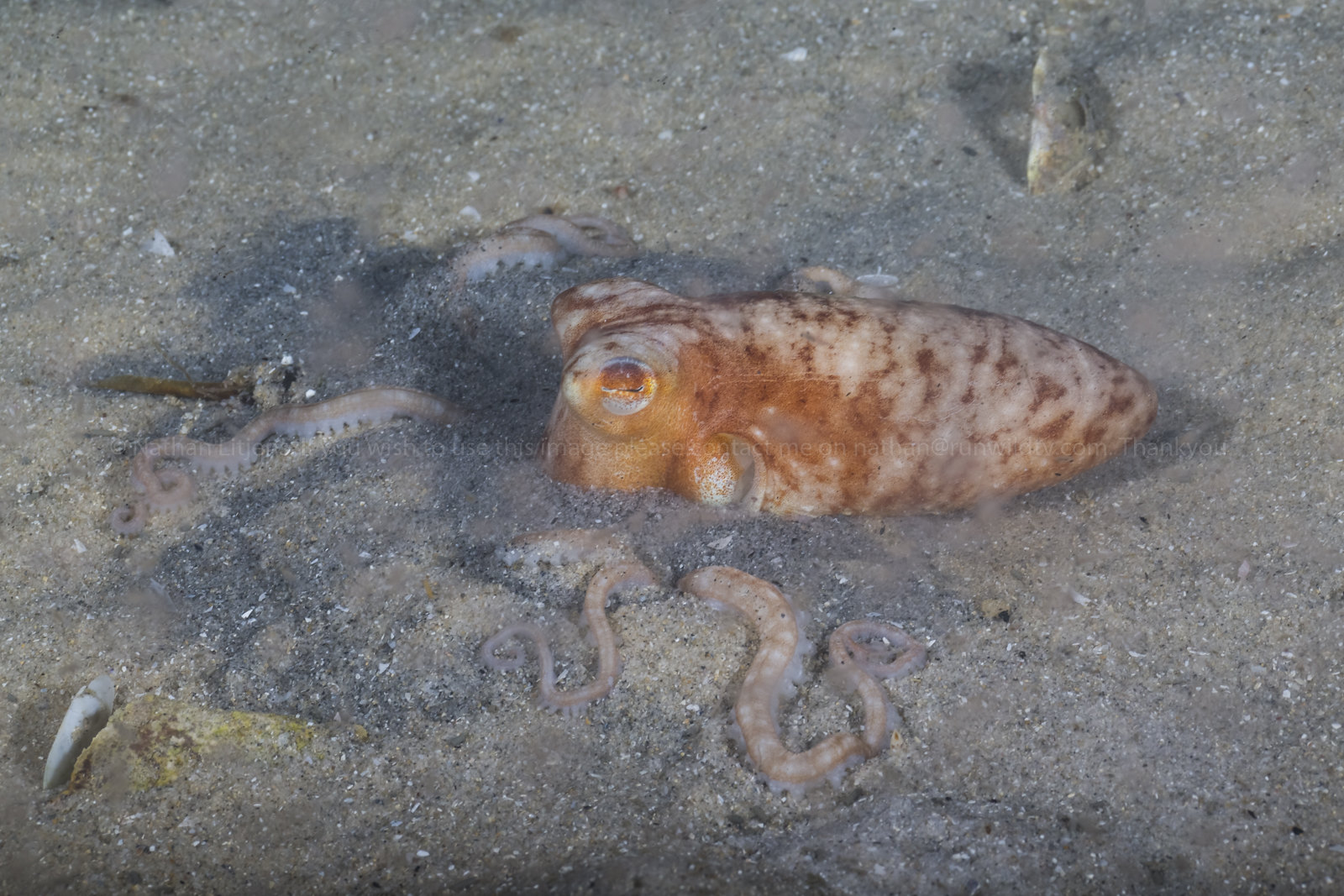 Southern sand octopus burying itself