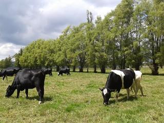 Grazing cows. San Miguel de Sema. Colombia