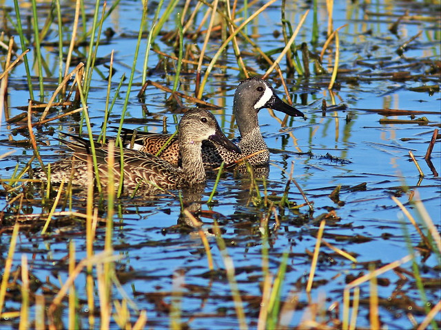 Blue-winged Teal 20150212