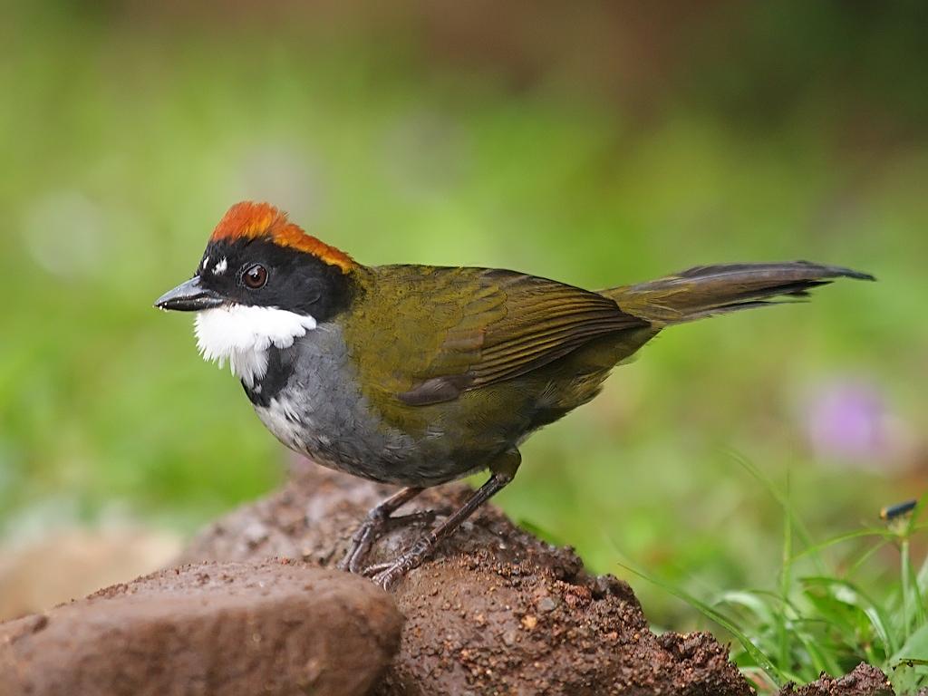 Chestnut-capped Brush Finch