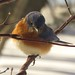 Eastern Bluebird Male by Trish Overton