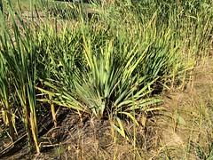field, grass, plant, flora, produce,