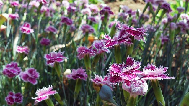 Hasan Yuzeir - carnations