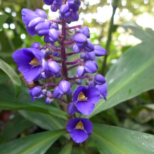 tropical garden opengarden dennishundscheidt sunnybank brisbane australia tropicallandscaping balinesestyle commelinaceae blueginger dichorisandra tanetahi