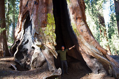 Yosemite - Telescope Tree