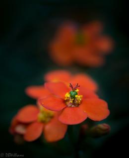 Orange lure