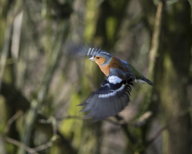 male chaffinch 446 (8)