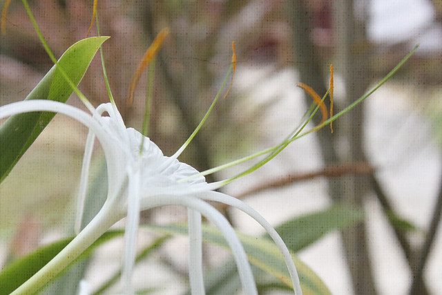 TT-20150310-spider-lilies-w