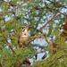Lark Sparrow, Tehuantepec, Oaxaca, Mexico por Terathopius