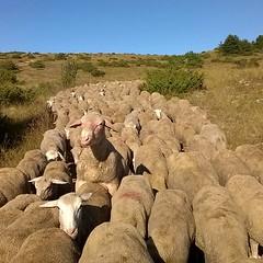 Diligenti ed educate (tranne una o per la precisione uno) #pecore #gregge #ovini #navelli #laquila #abruzzo