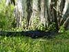 swamp tour alligator 1
