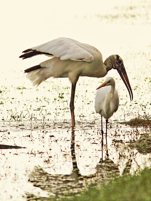 Wood Stork and Great Egret 20141229