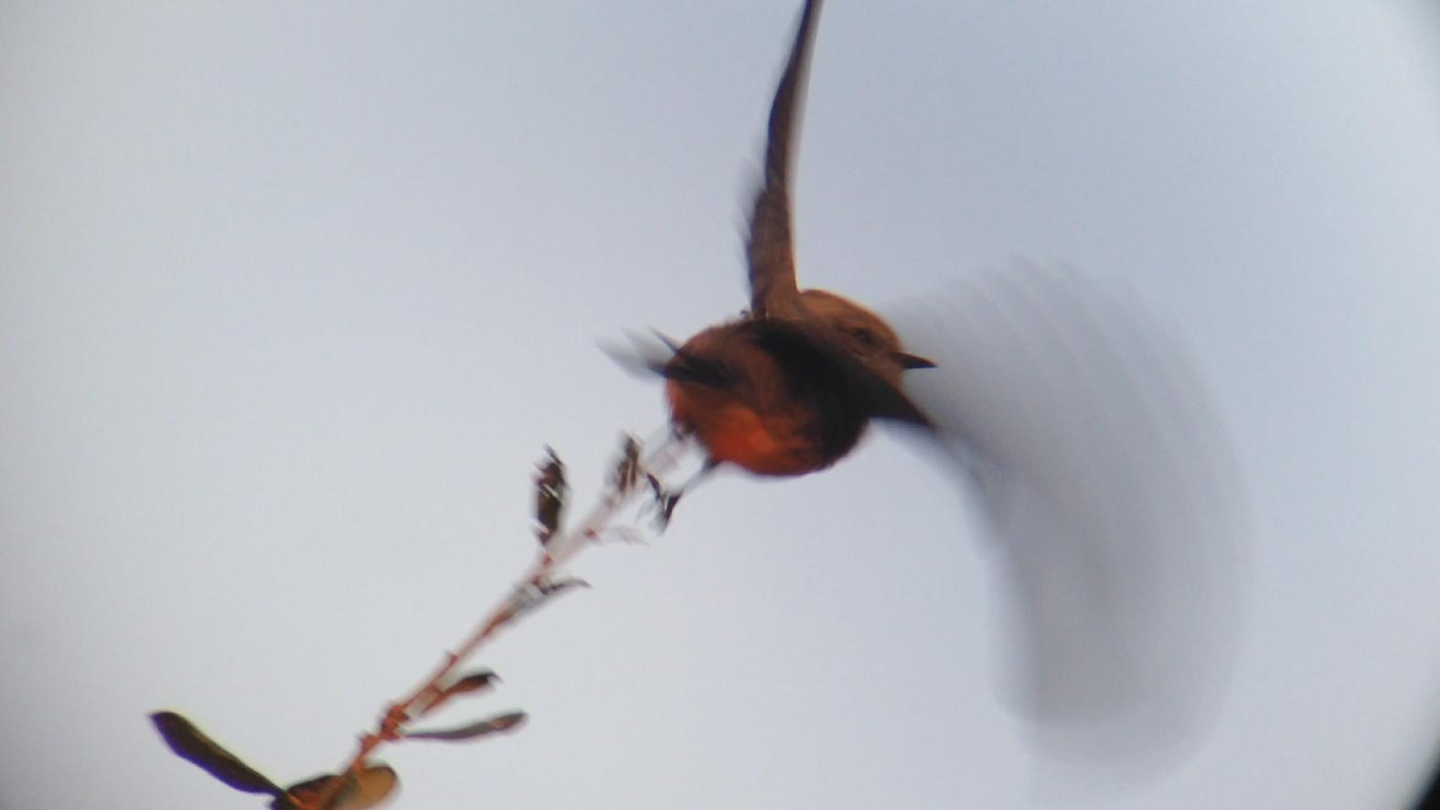 Vermilion Flycatcher Miller County GA 011015 6 298