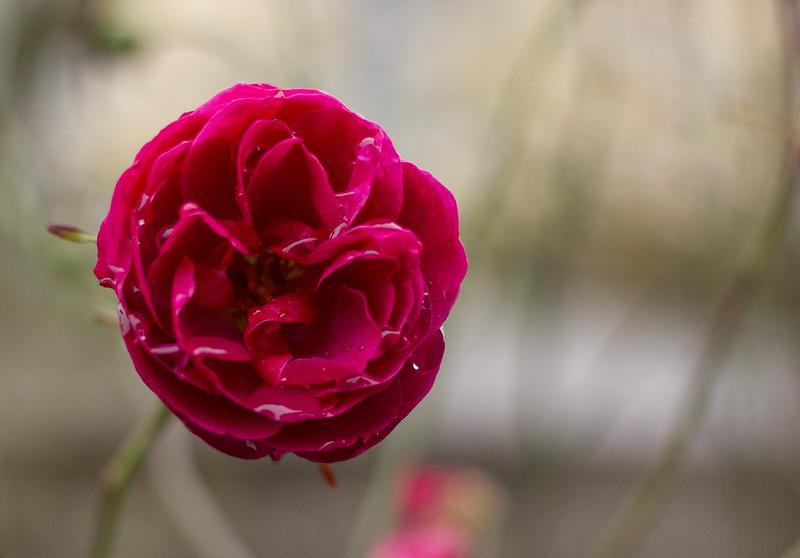 A November Rose