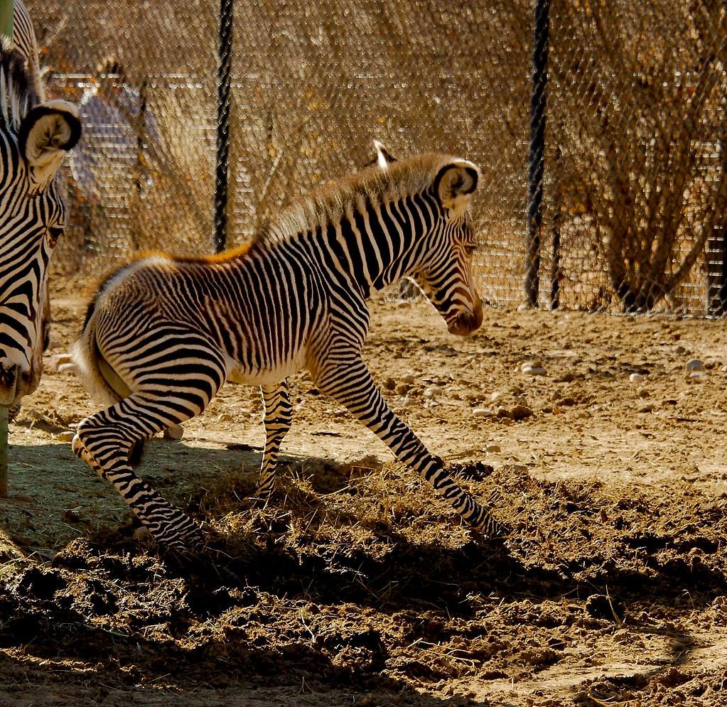 Grevys Zebra (Equus grevyi)_4